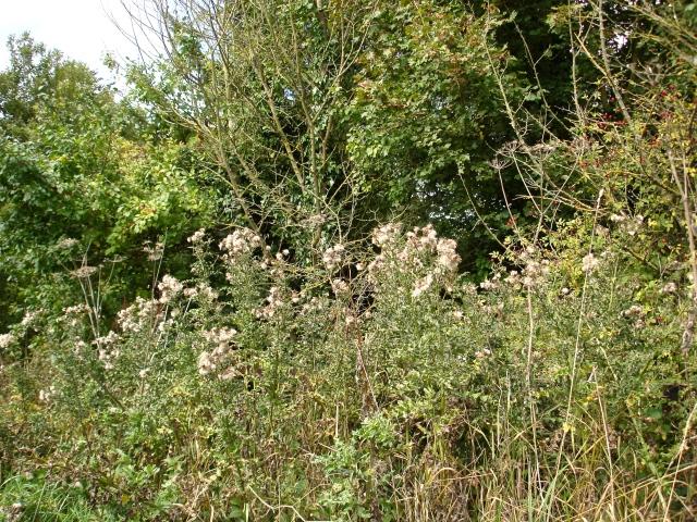 Meesden hedgerow 2010