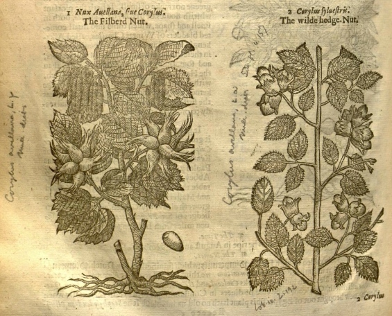 Hazels from Gerarde's Herball, 1636